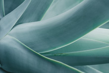 Close Up Background With Blue Aloe Plant