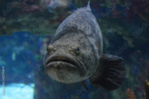 Grouper swimming in the water Canvas-taulu