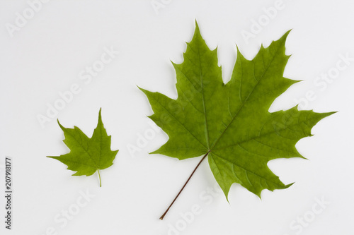 Two green maple leaves isolated on white background