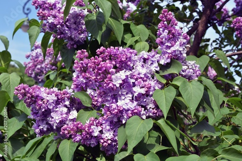 Keuken foto achterwand Lilac Lilacs garden in Moscow. Blooming lilac trees. Color photo.