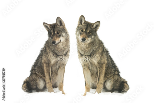 Spoed Fotobehang Wolf two gray wolf