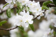 canvas print picture Apple tree blooming