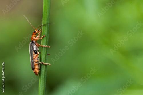 Foto op Plexiglas Macrofotografie Red bug on blade grass, copy space for text.