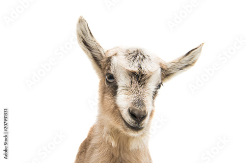 Vászonkép goat isolated