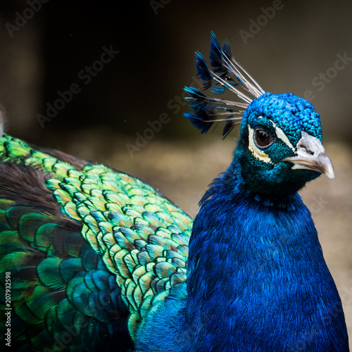 Foto op Plexiglas Pauw Peacock close-up
