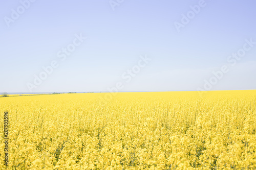 Fotobehang Zwavel geel yellow-blue field of flowering rape