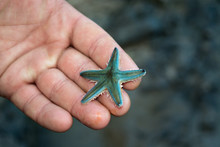 Small Gray Starfish On The Pal...