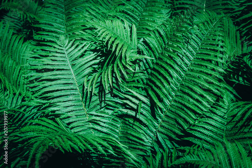Aluminium Prints Rice fields Beautiful background made with young green fern leaves.