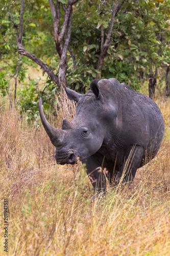 Fotobehang Neushoorn Large white rhino near. Meru, Kenya