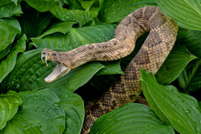 Close Up Of Aggressive Rattlesnake In Hosta Plants With Raindrops