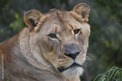 Fotobehang Leeuw Beautiful portrait of a big female lion in South Africa