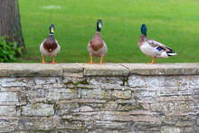 Funny Picture Of Three Ducks In A Row With One Looking The Wrong Way And Missing The Action