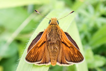 Close-up Of Male Large Skipper...