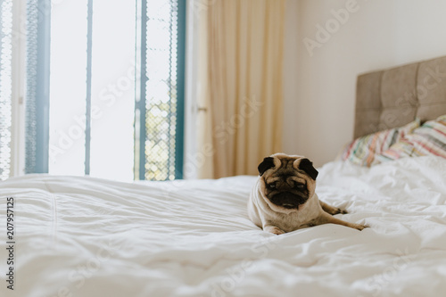 фотографія  Pug dog laying in a king size bed