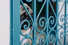 Pug Dog Looking Through Window Security Bars