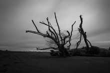 Fallen Tree Trunks And Driftwood After The Storm