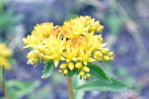 Fotobehang Bloemen yellow flowers of sedum aizoon
