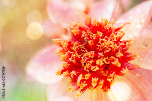 'Totally Tangerine' Dahlia flower with bokeh and a soft blur effect.