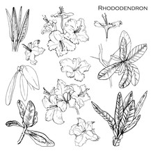 Illustration Of Set With Botanik Ink Herbal. Isolated Object Rhododendron Francisca. Hand Drawn Alpine Rose For Your Packing. Graphic Elements.