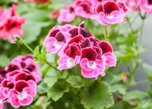 Azalea Plant With Bright Flowers