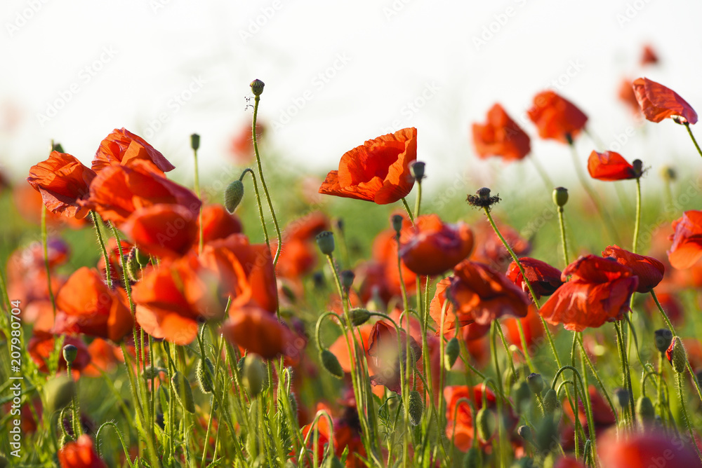 Beautiful poppies blooming in the summer field in Poland.