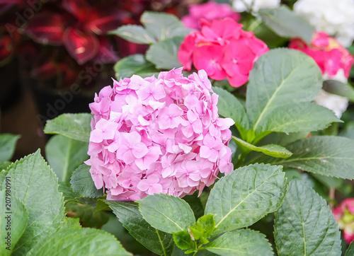 Fotobehang Hydrangea Hydrangea plant with bright flowers