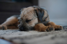 Sleeping Border Terrier Puppy