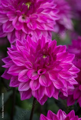 In de dag Dahlia Beautiful pink Dahlia Flower