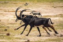 Sable Antelopes At Bwabwata N.P. Namibia