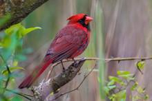 Juvenile Cardinal Poses On Branch
