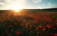 Field With Red Poppies, Colorful Flowers Against The Sunset Sky