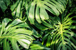 Beautiful green tropical leaves Monstera