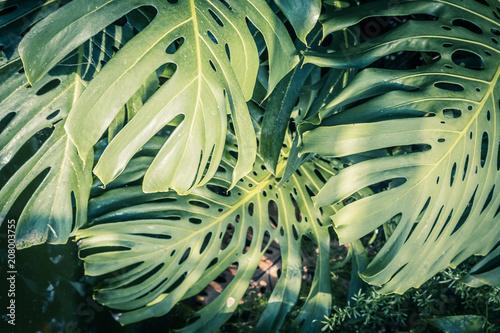 piekne-zielone-liscie-tropikalne-monstera