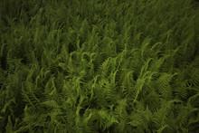 Carpet Of Ferns
