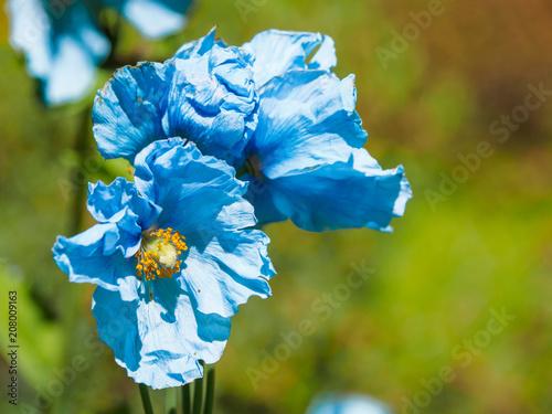 Himalayan blue Tibet Poppy