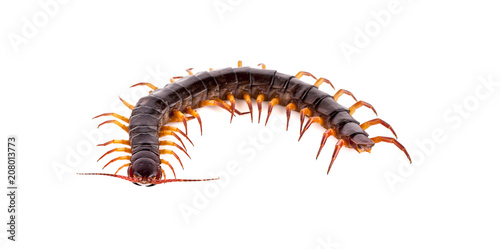 Stampa su Tela centipede on white background