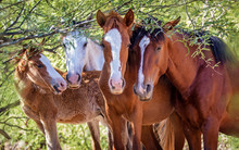 Closeup Of Herd Of Four Wild Horses