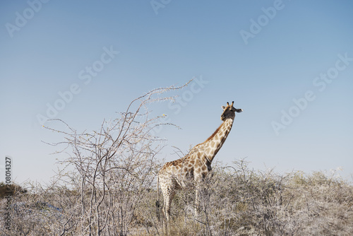 A giraffe eating from a thorn tree in the Etosha National Park