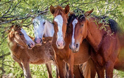 Fotografie, Obraz  Closeup of Herd of Four Wild Horses