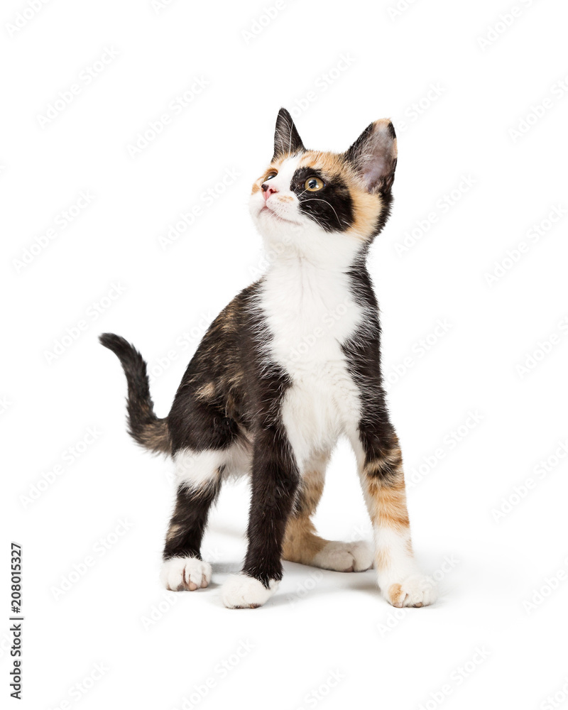 Fototapety, obrazy: Curious Calico Kitten Isolated on White