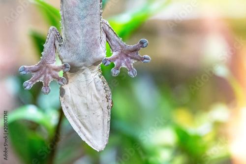 Gecko Clinging to Aquarium Glass