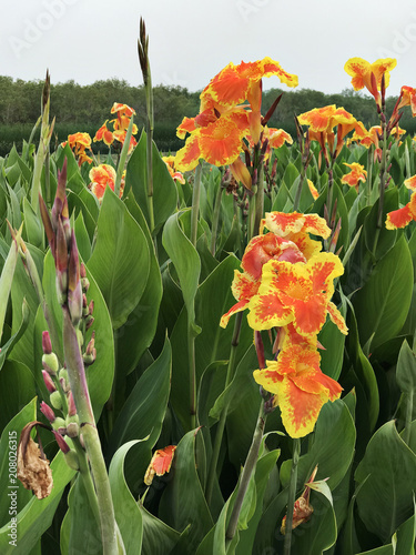 Canna indica or Indian shot or African arrowroot or Edible canna or Purple arrowroot or Sierra Leone arrowroot or Canna lily Canvas Print