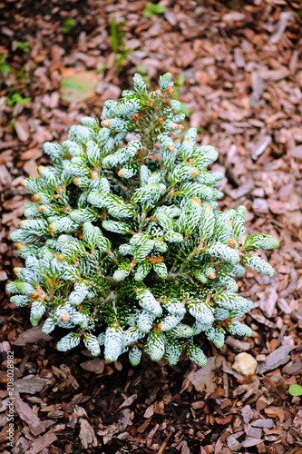 Abies Koreana Kohouts Icebreaker New Dwarf Cultivar Of Korean Fir