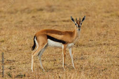 Antelope in Kenya