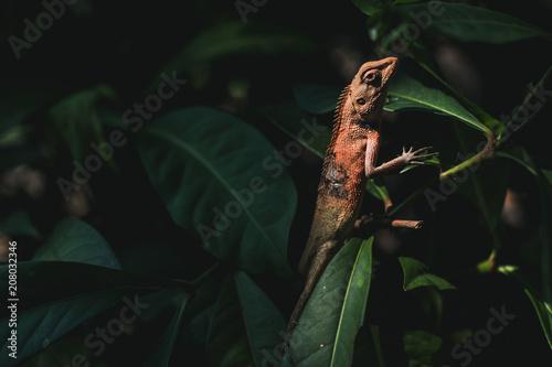 Asian Lizard on the leaf