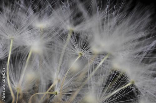 Tuinposter Paardebloem Close Up Macro Picture of Dandelion Seeds