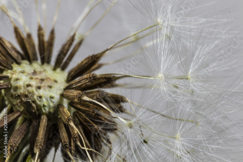 Canvas Prints Dandelions and water Close Up Macro Picture of Dandelion Seeds