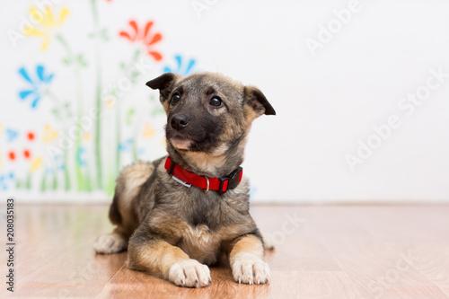 Billede på lærred A little mongrel puppy in a red collar lies on the floor