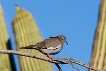 White-winged Dove (zenaida Asi...
