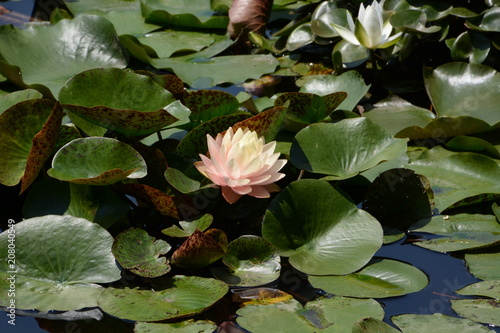 Foto op Plexiglas Waterlelies Water lily flowers